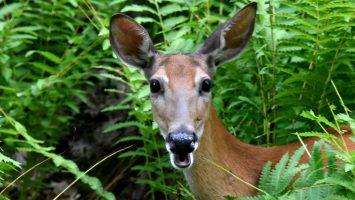 Deer-16x9